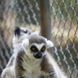 lémur nocturne de primats de strepsirrhine images libres de droits
