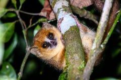 Lémur nocturno del ratón en rama en Madagascar Imagen de archivo libre de regalías