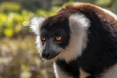 Lémur noir et par blanc hérissé Varecia Variegata, Madagascar photos libres de droits