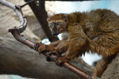 Lémur observé par bleu image libre de droits