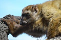 Lémur observé par bleu image stock