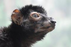 Lémur observé par bleu photos stock