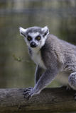Lémur posant sur un rondin Image stock