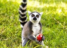 Lémur que almuerza la manzana Imagen de archivo libre de regalías