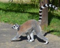 Lémur que camina Imagen de archivo libre de regalías