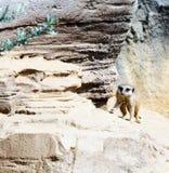 Lémur que camina en una roca Imagenes de archivo