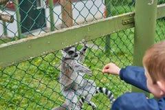 Lémur que come de la mano Fotografía de archivo libre de regalías