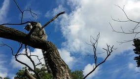 Lémur que corre en rama almacen de metraje de vídeo