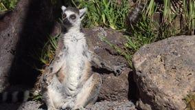 Lémur que descansa en el parque zoológico almacen de metraje de vídeo