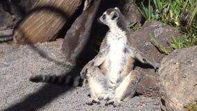 Lémur que descansa en el parque zoológico almacen de video