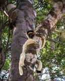 Lémur que descansa sobre un árbol, bosque de Kirindy, Menabe, Madagascar de Sifaka Foto de archivo