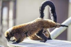 Lémur que hace la actitud boca abajo tres-legged de la yoga del perro Imagen de archivo libre de regalías