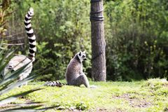Lémur que se sienta en el bosque Imagenes de archivo