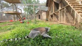 Lémur que se sienta en la hierba verde, comiendo y buscando algo interesante almacen de video
