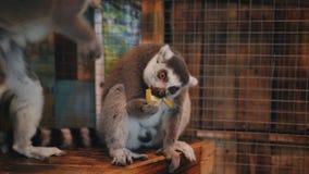 Lémur que se sienta en una placa en el zoo-granja en el cuarto y que come un plátano almacen de video