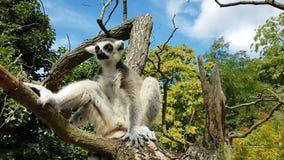 Lémur que tiene resto en rama almacen de metraje de vídeo