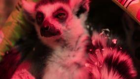 Lémur real en primer del parque zoológico almacen de metraje de vídeo