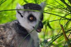 Lémur recherchant la nourriture Photo stock