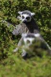 Lémur regardant entre les arbres Images stock