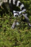 Lémur regardant entre les arbres Photo libre de droits