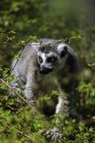 Lémur regardant entre les arbres Photographie stock