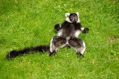 Lémur relajante en la hierba Imagen de archivo libre de regalías
