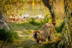 Lémur rouge marchant lentement dans le zoo Photos libres de droits