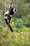 Lémur ruffed noir et blanc Images libres de droits