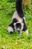 Lémur ruffed noir et blanc endémique (subcinct de variegata de Varecia image libre de droits