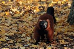 Lémur ruffed par rouge. Image stock