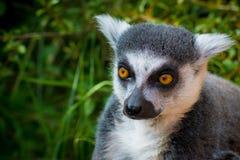 Lémur sauvage qui est curieux Images libres de droits