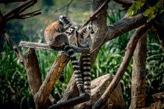Lémur se reposant sur la branche Images libres de droits