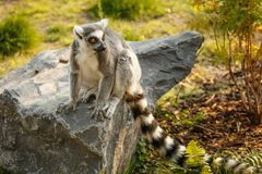 Lémur se reposant sur la pierre, zoo Image libre de droits