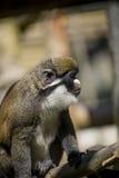 Lémur se reposant sur une branche d'arbre Photographie stock libre de droits