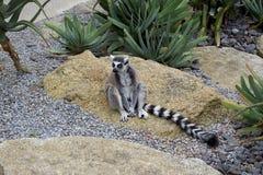 Lémur se reposant sur une roche Photos libres de droits