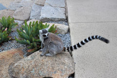 Lémur se reposant sur une roche Image libre de droits