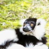 Lémur sorprendido en el césped Fotos de archivo libres de regalías