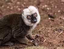 Lémur superado blanco y negro joven Imagenes de archivo