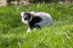 Lémur superado blanco y negro que camina en la hierba que busca para la comida imagen de archivo libre de regalías
