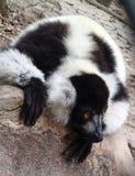 Lémur superado blanco y negro, variegatus de Varecia Fotos de archivo