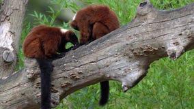 Lémur superado dos rojos almacen de metraje de vídeo