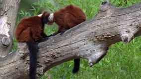 Lémur superado dos rojos metrajes