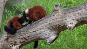Lémur superado dos rojos almacen de video