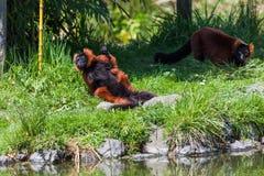 Lémur superado rojo en sol foto de archivo libre de regalías
