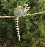Lémur sur la consommation de corde raide Photo stock