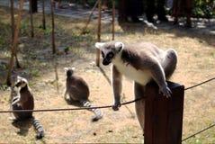 Lémur sur une barrière Photographie stock libre de droits