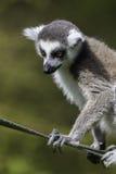 Lémur sur une corde Photos libres de droits
