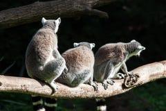 Lémures Fotos de archivo