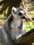 Lémures Anillo-atados Fotos de archivo libres de regalías