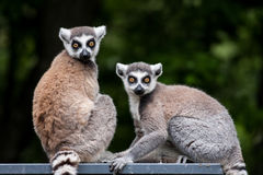 lémures Anillo-atados Imagen de archivo libre de regalías